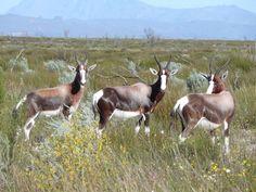 West Coast, Goats, Animals, Animales, Animaux, Animais, Goat, Animal