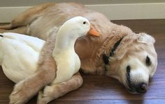 This Surprising Dog And Duck Friendship Shows That Animals Pick Friends Not By Their Looks-Meet Rudy,the Pekin duck & his best friend Barclay-a Golden Retriever (image credits:Pam Ishiguro, Bancroft Images) Animals And Pets, Baby Animals, Funny Animals, Cute Animals, Unusual Animals, Animals Beautiful, Animal Pick, Pekin Duck, Unlikely Animal Friends