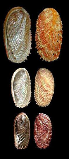Haliotis elegans - Elegant Abalone