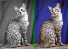 Fake - Blue eyed Egyptian Mau - The original image is shown on the right.