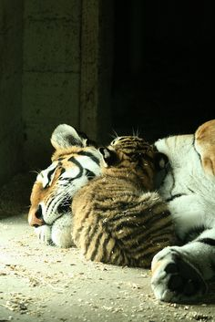 tigers cuddling   From Very Cool Photo blog