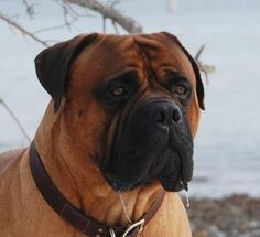 Bullmastiff Dog Breed. Looks just like Kingsley.