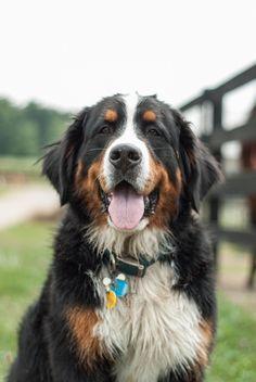 Portrait of a dirty Burmese Mountain dog Cute Puppies, Cute Dogs, Dogs And Puppies, Burmese Mountain Dog Puppy, Swiss Mountain Dogs, Dog Rules, Bernese Mountain, Dog Boarding, Cute Creatures