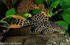 Pseudacanthicus leopardus (Leopard pleco)--<3 Fresh Water Fish <3 --