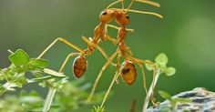 Insect - ant romance #2
