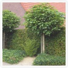Catalpa bignonioides 'Bungei' Boom met een dichte, ronde kroon, bladeren glanzend donkergroen. Hoogte afhankelijk van de hoogte van de entplaats. Goede boom voor in kleine tuinen, langs opritten en aan het terras (verjaagd namelijk vliegen en muggen door zijn aparte geur). Jaarlijks alle takken in het voorjaar wegsnoeien tot op 10cm van de stam. Boompaal is noodzakelijk. Backyard Landscaping, New Homes, Landscape, Plants, Garden Ideas, Gardening, Scenery, Garden, Lawn And Garden