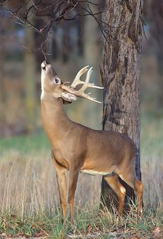 Beautiful fall whitetail licking a branch to leave his scent. #Whitetail #Buck