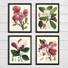 Magnolia Botanical Print Set of 4 Antique Beautiful Pink Violet White Blooming Flowers Garden Tree Plant Nature Home Room Decor Wall Art Unframed *** Want additional info? Click on the image.