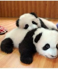 Information about types of pandas that exist in the world. Not only that, you can find fun facts about giant pandas and red pandas too. Niedlicher Panda, Panda Bebe, Cute Panda, Cute Baby Animals, Animals And Pets, Funny Animals, Baby Pandas, Animals Kissing, Baby Panda Bears