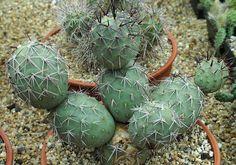 Tephrocactus alexanderi v. bruchii