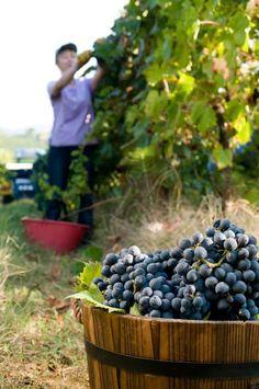 We choose very carfully our #grapes #umbertocesari #wine #vineyards