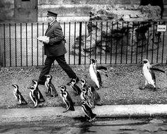 Happy Feet at London Zoo - 1931