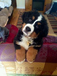 Bernese Mountain Dog puppy.