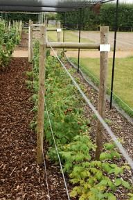 Raspberry Autumn Bliss plants in a row cut back all fruited canes to ground level after harvest keep 6-8 youngest canes per plant and tie then 3-4 inches apart along wire supports Remove the remaining young stems at ground level