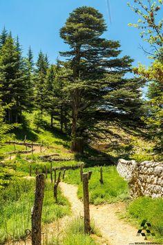 Good morning from the Cedar forest صباح الخير من غابة الأرز By Samer Berjawi  #Lebanon #WeAreLebanon