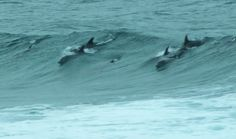 Dolphins in surf off Amanzimtoti South Afrika, Narwhals, Kwazulu Natal, I Love The Beach, Merfolk, Sea Monsters, Gulf Of Mexico, Pacific Ocean, Whales