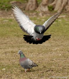 Why is that one pigeon flying towards the other one like that? Is it trying to tag its back or something?