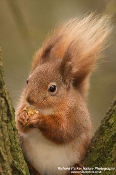 Photo of a rare Red Squirrel -  Wildlife UK Forum - Discuss the UK ...