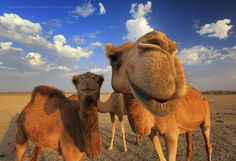 Camel Smile by Abdulmajeed  Aljuhani on 500px