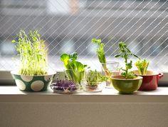 野菜の根っこやヘタを水に浸して再生させる「リボベジ」。豆苗やハーブ、葉物などいろんな野菜の育て方を伝授!