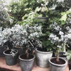 Tänker bara på eukalyptus just nu 💭💭 . . . #eukalyptus #gardenliving #gardenlife #trädgårdsinspiration #gardeninspo #trädgårdsliv…