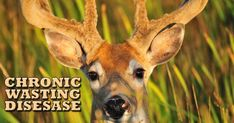 Learn more about the New methods of management of Chronic Wasting Disease. This disease can be transmitted to humans as it is a zoonosis. https://iloveveterinary.com/blog/chronic-wasting-disease/