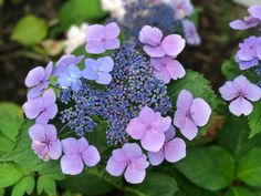 Unique Hydrangea macrophylla in our Garden