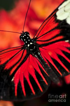✯ Red Heliconius Dora Butterfly