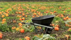 Guide to growing pumpkins in the home garden Home Vegetable Garden, Home And Garden, Veggie Gardens, Planting Pumpkins, Grow Pumpkins, Fall Pumpkins, Growing Squash, Pumpkin Garden, Best Garden Tools
