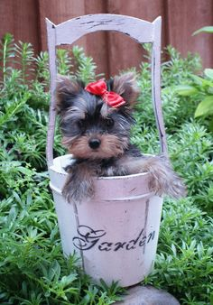 More About Yorkshire Terrier Dibujo Yorky Terrier, Yorshire Terrier, Teacup Yorkie, Yorkie Puppy, Chihuahua, Yorkies, Cute Puppies, Cute Dogs, Yorkshire Terrier Puppies