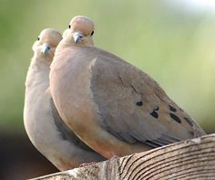 This morning I'm thankful for the beautiful sound of the doves in our neighborhood. My favorite of all the bird songs. Pretty Birds, Beautiful Birds, Animals Beautiful, Animals And Pets, Cute Animals, Dove Pictures, Dove Pigeon, Mourning Dove, Dove Bird