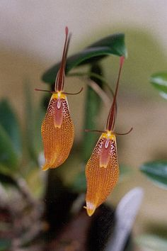 ✯ Restrepia Elegans Orchid