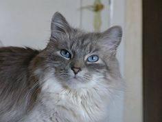 サイベリアン(サイベリアンフォレストキャット) 人懐っこく、猫アレルギーの人でもほぼアレルギーを出す事なく飼える猫  #秘密にしておきたかった生き物 のタグがスゴ過ぎる「このタグ全部神」「自然界恐るべし」 (2ページ目) - Togetterまとめ