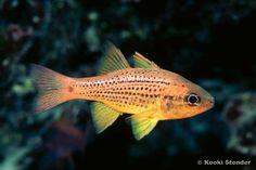 cardinal tropical fish   Spotted Cardinalfish, Ostorhinchus maculiferus