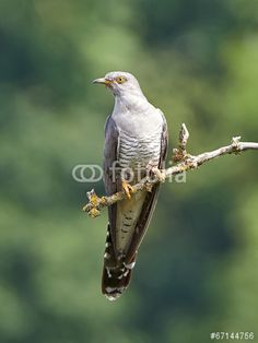 Sold today @fotolia: Common #Cuckoo (Cuculus canorus) #bird #wildlife #animal https://eu.fotolia.com/id/67144756
