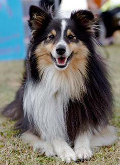 This is Freddie the Shetland Sheepdog or a Sheltie, relaxing at the Taming Canines Dog Show on a glorious July day. The breed was originally used to herd and protect sheep in the Shetland Isles, and has links to the now extinct Greenland Yakki.