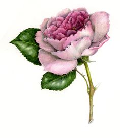 Botanical of English Rose in Colored Pencil and Watercolor by Wendy Hollender