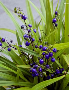 Tasman Flax Lily (Dianella tasmanica) evergreen, upright growth to 3 feet in height with equal spread, dark blue flowers through summer, bright blue berries in fall, long thin leaves can be variegated Dark Blue Flowers, Beautiful Flowers, Sun Plants, Garden Plants, Lily Garden, Australian Plants, Flora Flowers, Summer Flowers, Native Plants