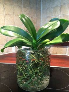 Orchids in water culture – Klairvoyant Orchids Water Culture Orchids, Orchids In Water, Indoor Orchids, Orchids Garden, Water Plants, Orchid Propagation, Orchid Fertilizer, Orchid Plant Care, Orchid Plants