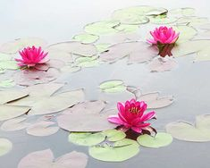 Water Lilies in the Morning Amazing Pictures Photo Print by Michael Taggart Photography flower lily pad pink fuchsia