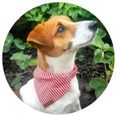 puppy /& owner gift bluedog red I/'m A Shih Tzu Bandanacollar neck tie