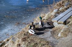 Ducks at Damhus lake