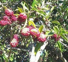 African Holly-Ilex mitis female fruiting