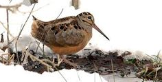 american woodcock: an artful dodger that usually lies well to a pointing dog!