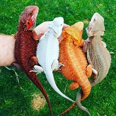 """Colorful bearded dragons"" Me: bearded dragon colors red, white, orange and sand Bearded Dragon Colors, Bearded Dragon Cute, Bearded Dragon Habitat, Cute Creatures, Beautiful Creatures, Animals Beautiful, Cute Reptiles, Reptiles And Amphibians, Funny Animal Memes"