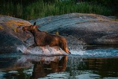 The most famous animal in Sweden is without a doubt the moose (or European Elk)