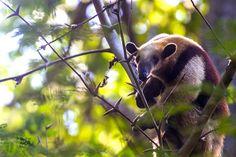 Der Nasenbär ist ein geselliges Säugetier, dass man stundenlang in den Urwäldern von Nicaragua beobachten kann, ohne das Langeweile aufkommt.