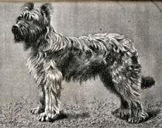 http://www.chiens-des-champs.com/Le_chien_d'Aubry.htm
