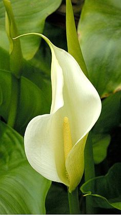Peace lily- A houseplant that helps purify the air.
