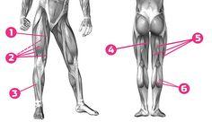 So arbeitet unsere Beinmuskulatur
